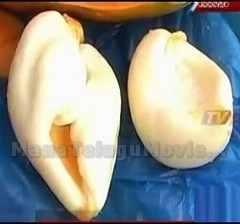 Wonders of Nature – Conch Shell And Lamp Found Inside Papaya