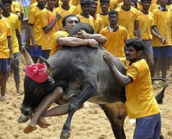 Breaking: Line Clear for Jallikattu, Centre Bows Down To Pressure