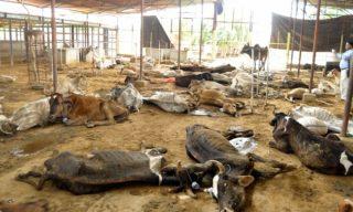 100 cows dead in Vijayawada gaushala