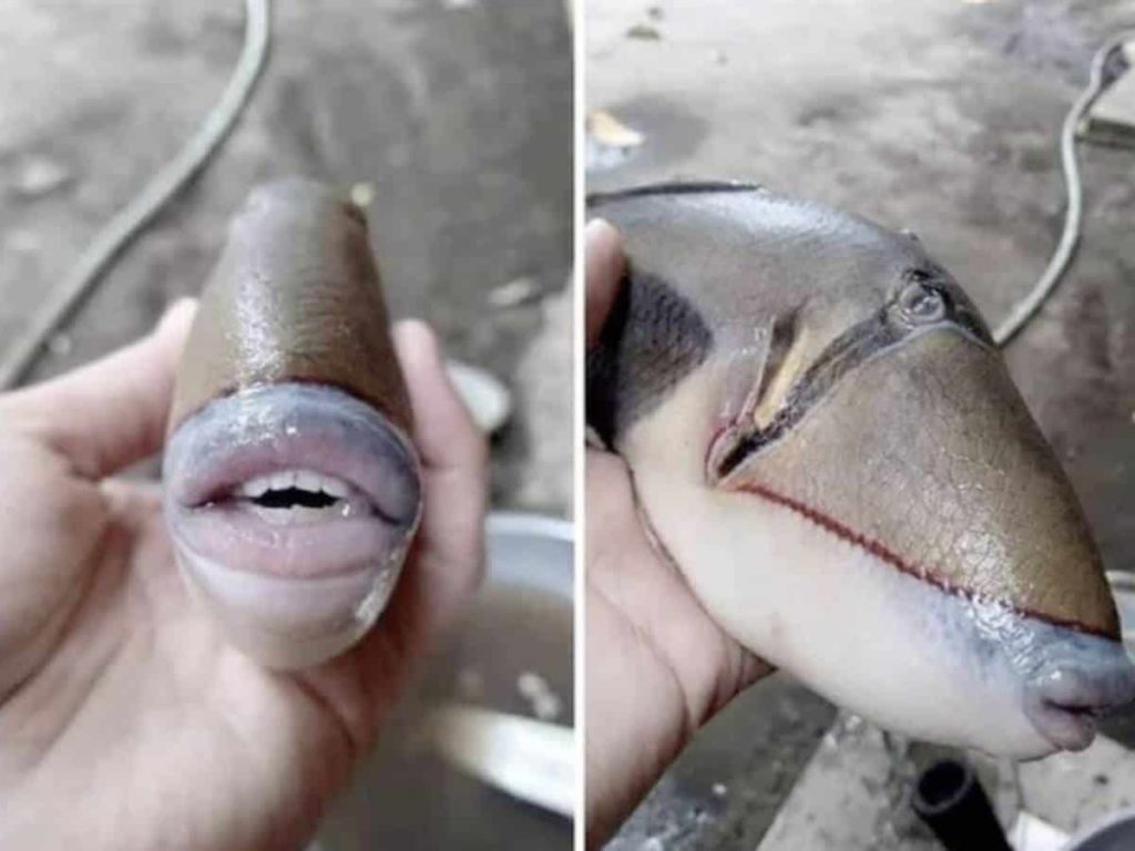 Viral Pic: A Fish With Human-Like Teeth & Lips #fishlips