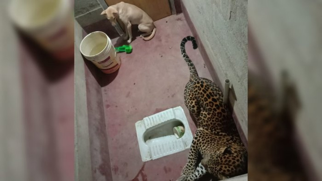 Lucky Dog Trapped With Leopard Escaped Narrowly